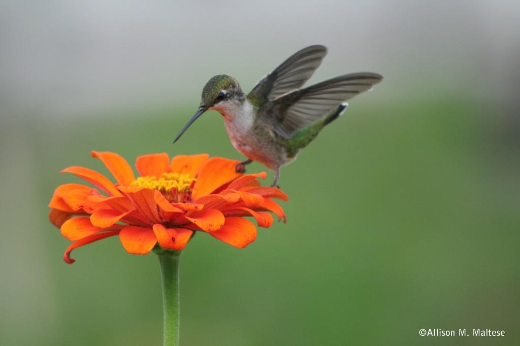 My First Hummingbird Shot by falcon11