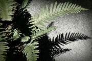26th Aug 2011 - fern and shadow