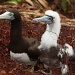 Punk Bird - Mother Brown Booby will be glad when her son gets through that awkward teenage stage by lbmcshutter