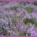 wet heather by jmj