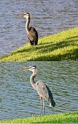30th Aug 2011 - Blue Heron