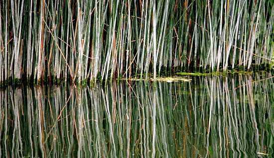 Water reeds by johnnyfrs