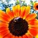 Luke's Sunflower by lauriehiggins
