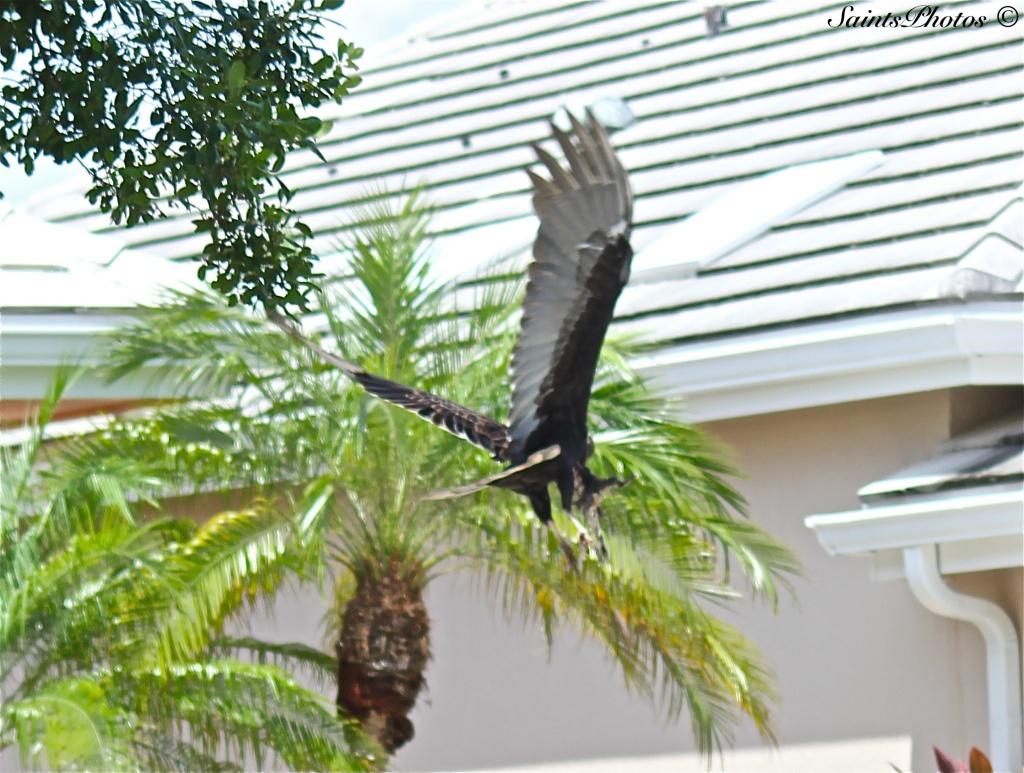 Turkey Vulture by stcyr1up