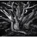 Monterey Cypress  by pixelchix
