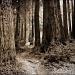 Coastal Redwoods by pixelchix