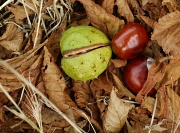 5th Sep 2011 - Bonkers for Conkers