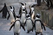 28th Apr 2010 - The penguins walked in three by three