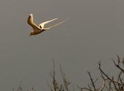 8th Sep 2011 - Golden Bosun Bird in fight