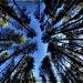Soaring Trees by exposure4u