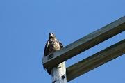 9th Sep 2011 - Immature eagle