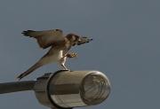 10th Sep 2011 - kestrel landing with breakfast