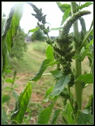 4th Sep 2011 - Pigweed in the Peach Orchard