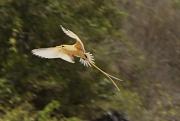 11th Sep 2011 - Golden Bosun Bird coming in for a landing