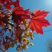 red maple leaf by bruni