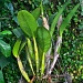 Catlaya Orchard by stcyr1up