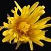 Dandelion Day by herussell