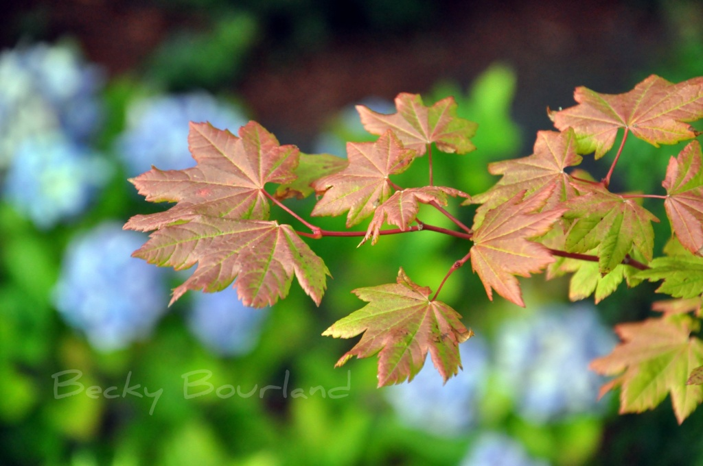 Contrasts And Vine Maple by mamabec
