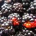 Blackberries by phil_howcroft