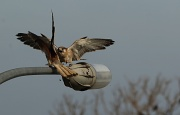 17th Sep 2011 - Battle Royale - Kestrel Style - the fight for the perch on the lightpole