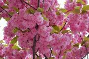 30th Apr 2010 - Under Cherry Blossom