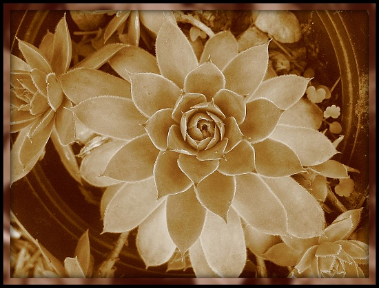 Sepia/Plant by olivetreeann