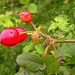 Rosehip with insect by pyrrhula