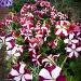 Petunias by bella_ss