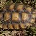 Desert Tortoise by robv