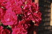 18th Sep 2011 - Roses
