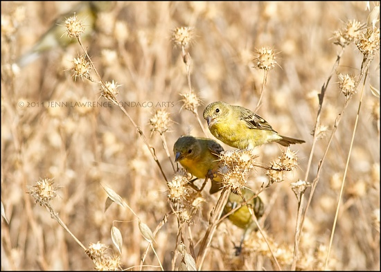 American Goldfinches by aikiuser