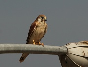 19th Sep 2011 - after his recent victory in the battle for the lightpole perch, the young kestrel exercised those rights and basked in the glory