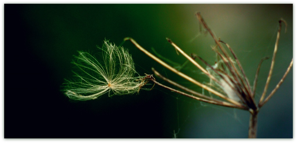 Seed dispersal by wind by judithg
