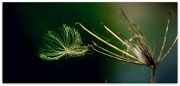 20th Sep 2011 - Seed dispersal by wind