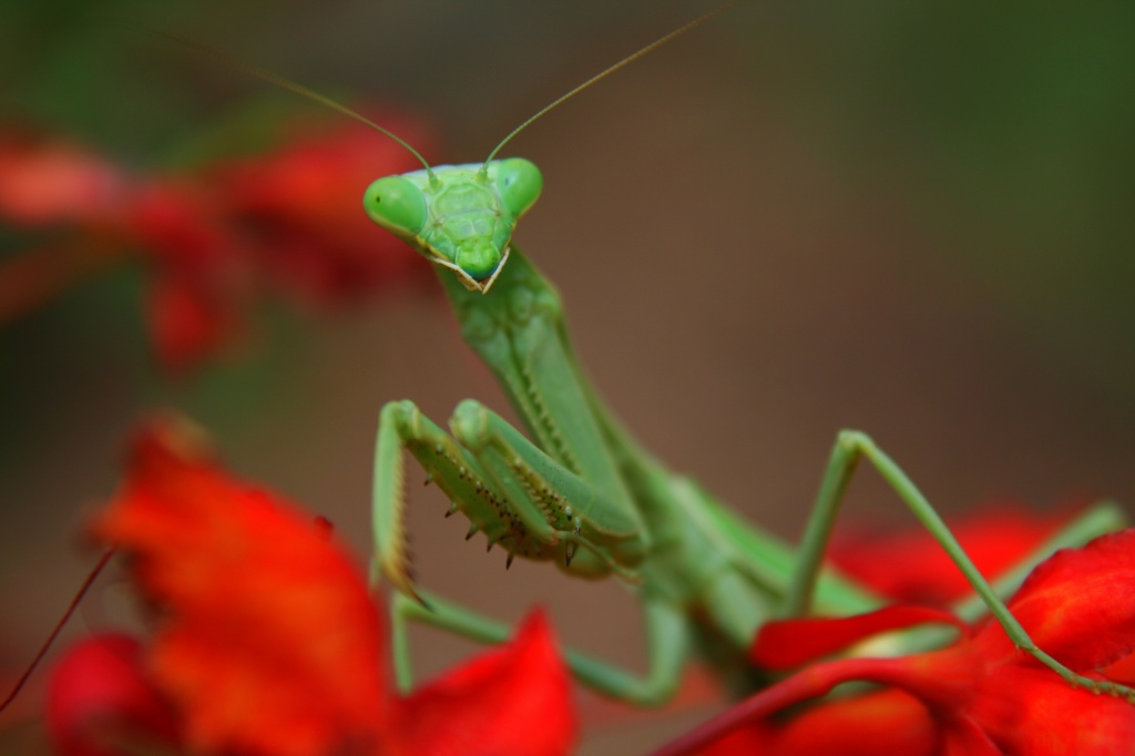 The Preying Mantis by kerristephens