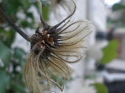 21st Sep 2011 - gone to seed.....