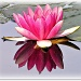 Another Waterlily! by judithdeacon