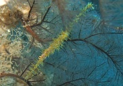 24th Sep 2011 - come diving with me - meet the ghost pipe fish