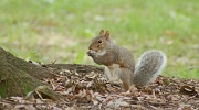 25th Sep 2011 - Acorn thief....