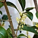 Tea Olive (Osmanthus fragrans) by peggysirk