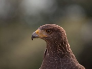 26th Sep 2011 - Portrait of a Harris Hawk