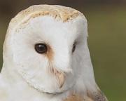 28th Sep 2011 - Barn Owl Portrait