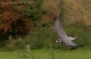 29th Sep 2011 - Peregrine Falcon In Flight