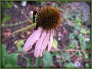 27th Sep 2011 - Autumn Coneflower 2