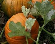 1st Oct 2011 - It's pumpkin time