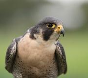 30th Sep 2011 - Portrait Of A Peregrine Falcon