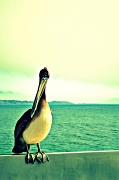 2nd Oct 2011 - I can because I'm a pelican!