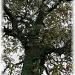 witness tree by mjmaven