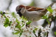 3rd May 2010 - Spring Sparrow:)