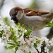 Spring Sparrow:) by lily